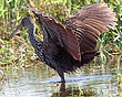 Limpkin With Style       NFP  s.jpg