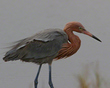 Reddish Egret Calm And Collected          NFP  s.jpg