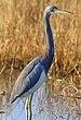 Tricolor Heron In The Marsh  13 x 19  NFP  s.jpg