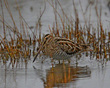 Wilsons Snipe In The Marsh        NFP  s.jpg