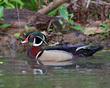 Wood Duck On Spring Marsh         NFP  s.jpg