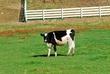 D8F-55-Dairy Cow.jpg