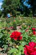 DX15M-49-Park of Roses.jpg
