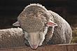 D12D41 Sheep.jpg