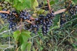 FX50-O-70-South River Vineyard.jpg