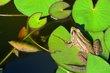 FX5F-3-Pond Frog.jpg