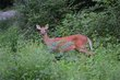 FX70A-248-Deer at Hueston Woods.jpg