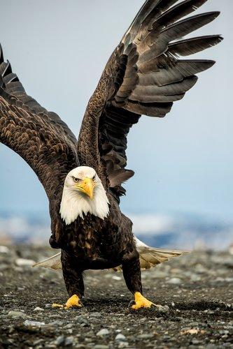 Angry Eagle.jpg