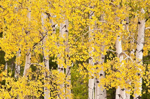 Autumn Aspens.jpg