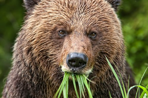 Grizzly Greens.jpg