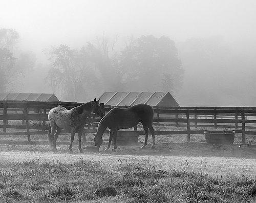 Horses in the mist @b.w.jpg