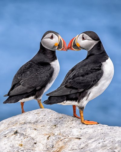 Puffin_beak to beak_Master_v2.jpg