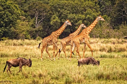 Three Giraffes Walking here.jpg