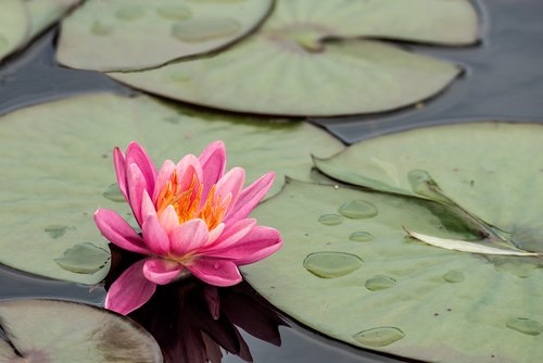 Water Lily 1.jpg