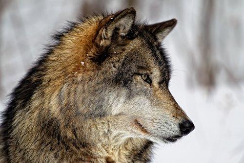 Wolf Watch.jpg