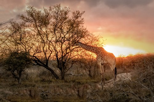 Giraffe at Sunrise.jpg