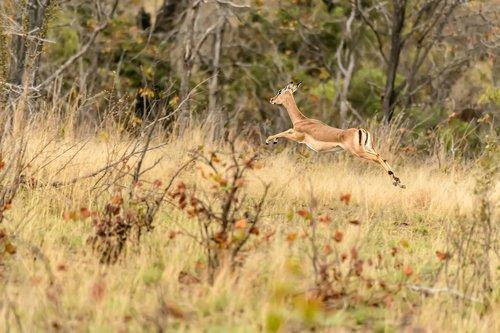 Leaping Impala.jpg