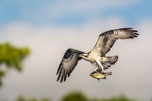 Osprey Breakfast.jpg
