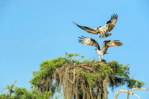 Osprey Pair.jpg