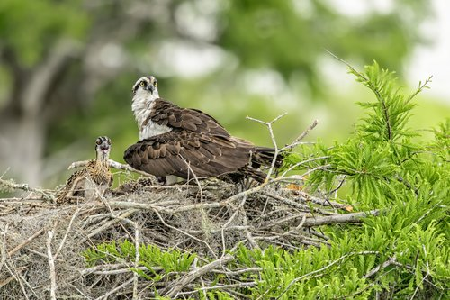 Osprey with Chick.jpg