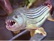 tigerfish2.jpg
