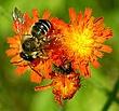 Bee on the Fireweed.jpg