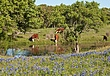 Bluebonnets  Cattle.jpg