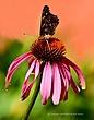 Butterflyonflower 11x14.jpg