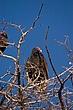 Fort Davis Vulture.jpg