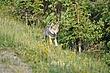 Gray Wolf Denali Alaska.jpg