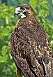 Hawk Ketchikan 11x16.jpg