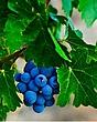 Napa Valley Grapes.jpg