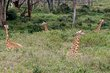 5 Giraffes just chilling at Giraffe Manor - Nairobi.jpg