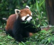 A brown panda.jpg