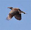 Bird in flight at Abu Camp.jpg
