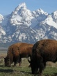 Bison in front of the Teton mountains.jpg