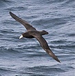 Brown Petrel.jpg