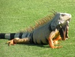 Colorful golf Iguana.jpg