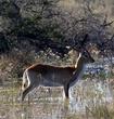Red Lechwe in Okovango Delta - Botswana.jpg
