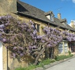 Wisteria in Broadway Cotswolds.jpg