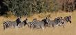 curious zebra family.jpg