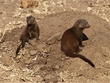 dwarf mongoose hiding.jpg