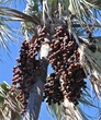 fruit of the palm tree.jpg