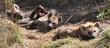 hyena pups.jpg