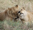 loving lionesses.jpg