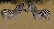 nose to nose zebras.jpg