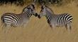nose to nose zebras.jpg