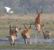 red lechwe fleeing.jpg