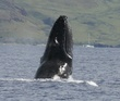 spy hopping whale.jpg