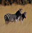 zebra and calf.jpg